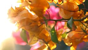 Bougainvillea flowers blossom with a warm summer sunset stock video footage