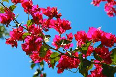 Bougainvillea flowers on blue sky background Royalty Free Stock Image