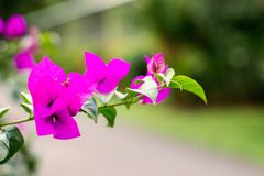 Bougainvillea flowers on a branch close up stock photo
