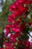 Bougainvillea flowers in bright red Stock Photos