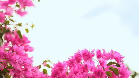Bougainvillea flowers bush against the sky in the garden. The seventh version. Shot in Full HD - 1920x1080, 30fps stock video footage