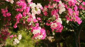 Bougainvillea flowers bush in the garden. The second version. Shot in Full HD - 1920x1080, 30fps stock footage