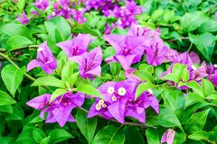 Bougainvillea flowers Stock Photography