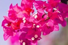Bougainvillea Flowers Close Up Stock Image