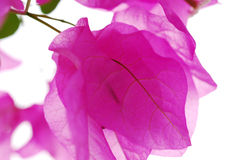 Bougainvillea flowers Stock Image