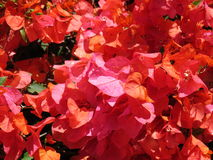 Bougainvillea flowers. Closeup of flowers on a Bougainvillea plant in full bloom Stock Image