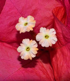Bougainvillea flowers closeup Royalty Free Stock Photos