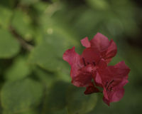 Bougainvillea Flowers. Cultivated, from a garden stock photography