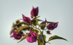 Bougainvillea flowers. Detail of some bougainvillea flowers with the sky as background Stock Photography