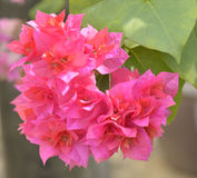 Bougainvillea Flowers. Fresh and beautiful Stock Photos