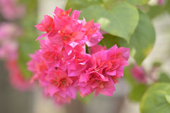 Bougainvillea Flowers. Fresh and beautiful Royalty Free Stock Images