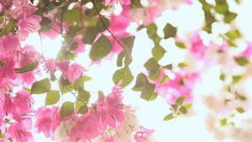 Bougainvillea flowers in the garden bush in bright rays sunshine. First version. stock video footage