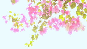Bougainvillea flowers in the garden bush in bright rays sunshine. The second version. Shot in Full HD - 1920x1080, 30fps stock video footage