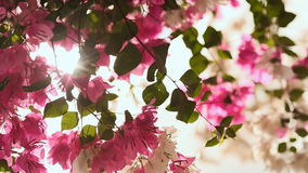 Bougainvillea flowers in the garden bush in bright rays sunshine. The third version. stock footage