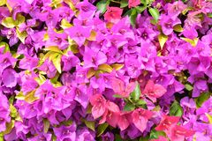 Bougainvillea flowers is a genus of thorny ornamental vines. Bushes, and trees with flower-like spring leaves near its flowers stock image
