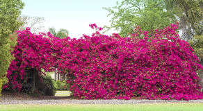 Bougainvillea Flowers Hedge Royalty Free Stock Images