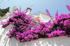 Bougainvillea flowers on a house entrance, Anacapri, Italy Stock Photos