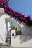Bougainvillea flowers on a house entrance, Anacapri, Italy. Bougainvillea flowers on a house entrance Anacapri. Anacapri is a comune on the island of Capri, in Royalty Free Stock Photography