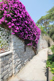 Bougainvillea flowers on a house entrance, Anacapri, Italy. Bougainvillea flowers on a house entrance Anacapri. Anacapri is a comune on the island of Capri, in Stock Image