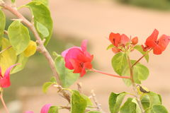 Bougainvillea Flowers. Infinity flower with the Garden Royalty Free Stock Photo