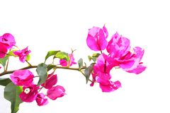 Bougainvillea flowers isolated white background Stock Photos