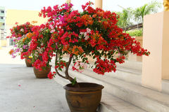 Bougainvillea Flowers Royalty Free Stock Photo