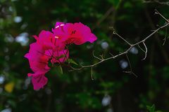 Bougainvillea flowers are not fragrant, but with vibrant colors. Stock Photos
