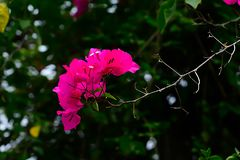 Bougainvillea flowers are not fragrant, but with vibrant colors. Stock Images