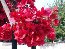Bougainvillea Flowers In The Park Royalty Free Stock Image