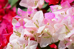 Bougainvillea flowers at park in Kyoto, Japan Stock Photo