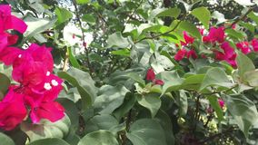 Bougainvillea flowers in the park. Bougainvillea trees and flowers at Tao Dan park in Saigon, Vietnam stock video footage