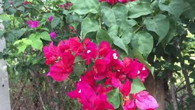 Bougainvillea flowers in the park. Bougainvillea trees and flowers at Tao Dan park in Saigon, Vietnam. Bougainvillea spectabilis can grow in hardiness zones 10 stock video
