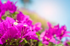 The bougainvillea flowers, pink flowers in the park Stock Photos