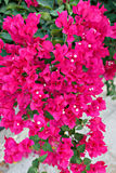 Bougainvillea flowers. Pink Bougainvillea flowers in the garden stock image