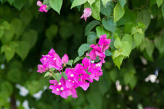 Bougainvillea flowers pink and green branch in garden stock photo