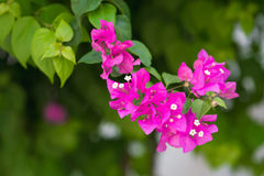Bougainvillea flowers pink and green branch in garden royalty free stock images