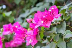 Bougainvillea flowers pink Stock Photos