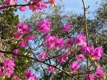 Bougainvillea flowers, Portovenere , Province of La Spezia, Italy Royalty Free Stock Images
