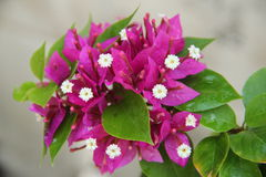 Bougainvillea flowers. Purple Bougainvillea flowers,white pollen and green leaves Stock Image
