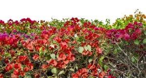 Bougainvillea flowers Royalty Free Stock Photo