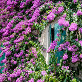 Bougainvillea Flowers at Sirmione Lake Garda Italy, Royalty Free Stock Images