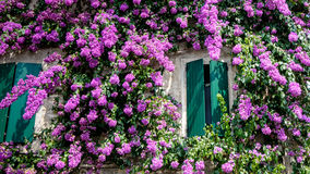 Bougainvillea Flowers at Sirmione Lake Garda Italy, Stock Image