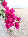 Bougainvillea flowers. In the small garden Stock Image