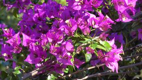 Bougainvillea flowers on street in Da Lat city, Lam Dong province, Vietnam. Nature, Bougainvillea flowers on street in Da Lat city. Da Lat supplies temperate stock video footage