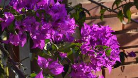 Bougainvillea flowers on street in Da Lat city, Lam Dong province, Vietnam. Sunshine, Bougainvillea flowers on street in Da Lat city. Da Lat supplies temperate stock footage