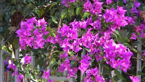 Bougainvillea flowers on street in Da Lat city, Lam Dong province, Vietnam. Sunshine, Bougainvillea flowers on street in Da Lat city. Da Lat supplies temperate stock video