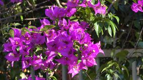 Bougainvillea flowers on street in Da Lat city, Lam Dong province, Vietnam stock video footage