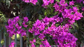 Bougainvillea flowers on street in Da Lat city, Lam Dong province, Vietnam stock video