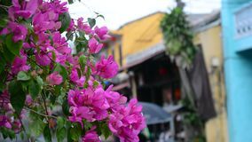 Bougainvillea flowers on street stock footage
