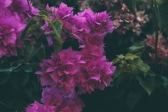 Bougainvillea flowers texture and background. Purple flowers of bougainvillea tree. Close up view of bougainvillea purple flower. Colorful purple flowers Royalty Free Stock Photography